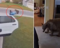 Who Did It Better: Man Defends Family From Rabid Bobcat OR Little Dogs Chase Bear Out Of Home
