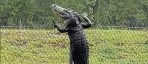 Nightmare Fuel: Did You Know Gators Can Climb Fences? (Video)