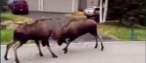 HILARIOUS: Bro Loses It When Two Bull Moose Square Off In His Front Yard (Video)